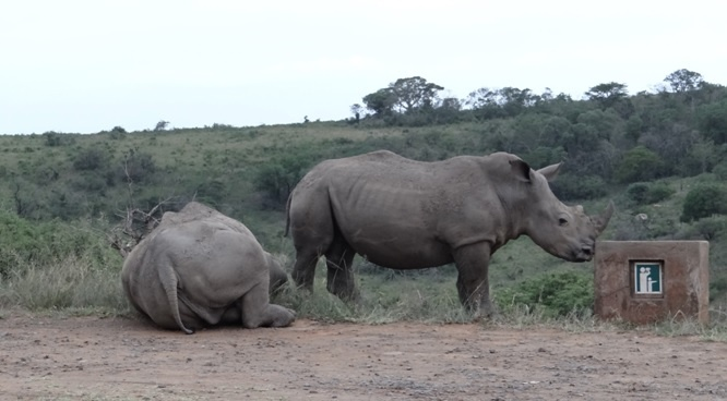 Durban safari tours; Rhinos at view site