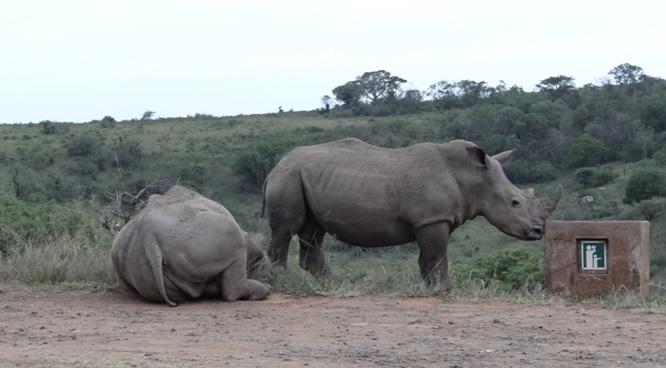 Durban safari tour; Rhinos at view site
