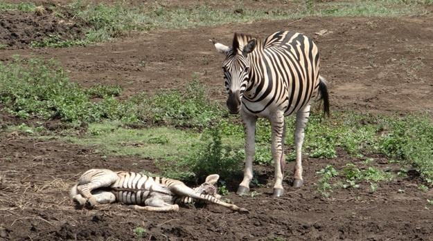 Durban safari tour; Zebra foal and mother