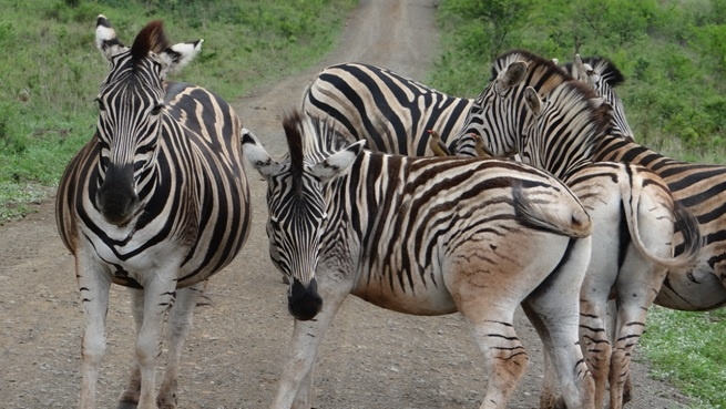 Durban safari tour; Zebra