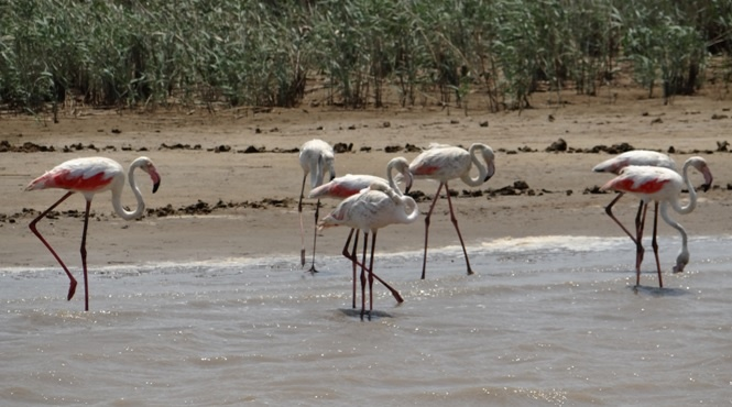 Durban safari tours; Flamingos