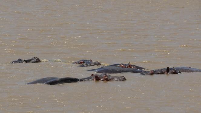 Durban safari tours; Hippos