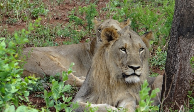 Durban safari tours; Lions