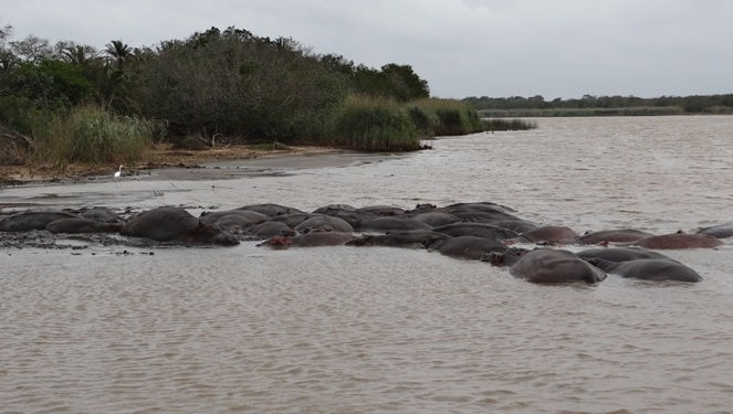 St Lucia Wetlands tour; Big pod of Hippos