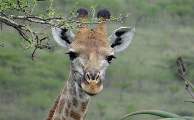 Tala game reserve half day tour; Giraffe