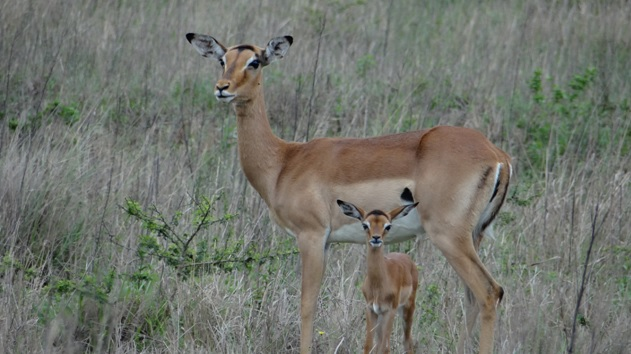 Tala game reserve half day tour; Impala lamb