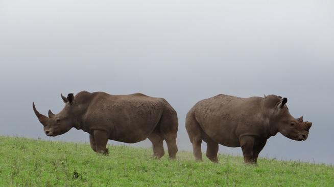 Tala game reserve half day tour; White Rhino