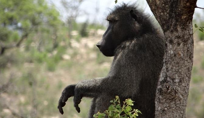 African safari from Durban; Baboon