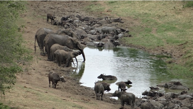 African safari from Durban; Buffalo and Elephant share water