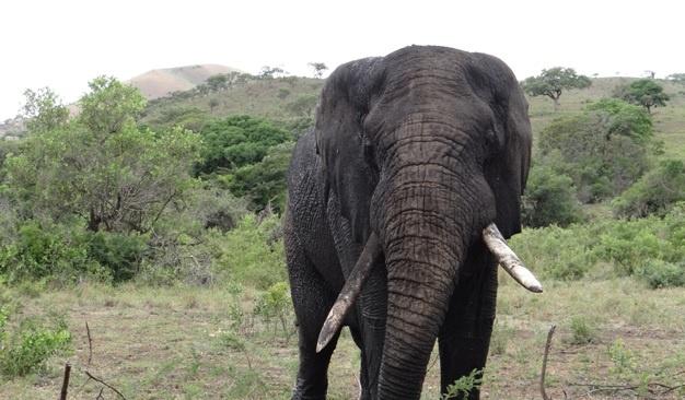 African safari from Durban; Elephant