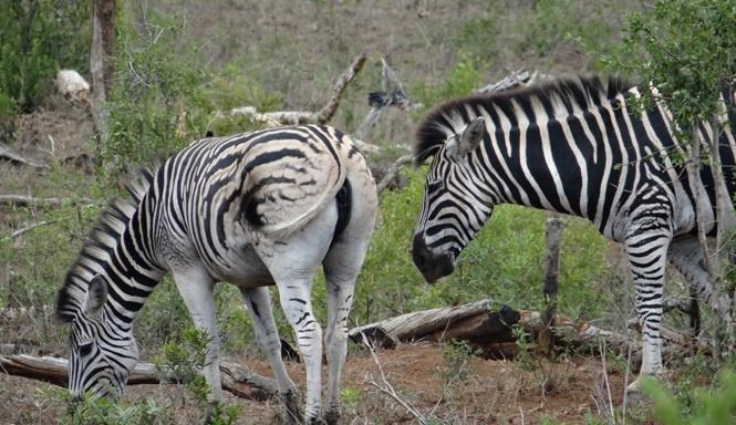 African safari from Durban; Zebra