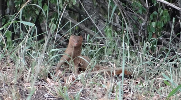 Durban safari tours; Slender Mongoose