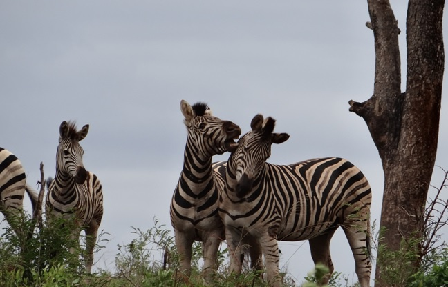Durban safari tours; Zebra