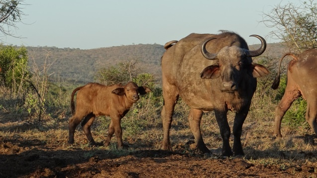 South Africa safari; Buffalo