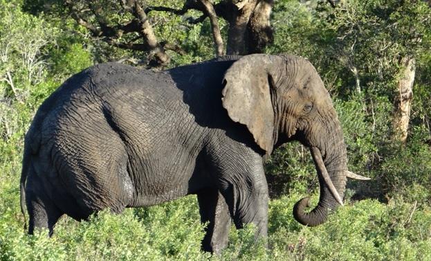 South Africa safari; Bull Elephant