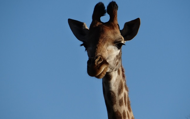 South Africa safari; Giraffe