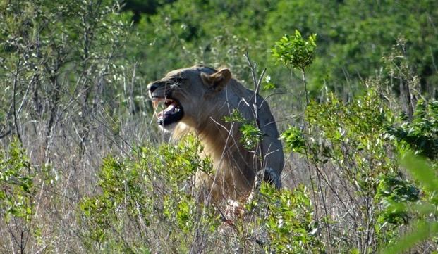 South Africa safari; Lion grimace