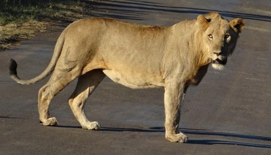 South Africa safari; Lion on road