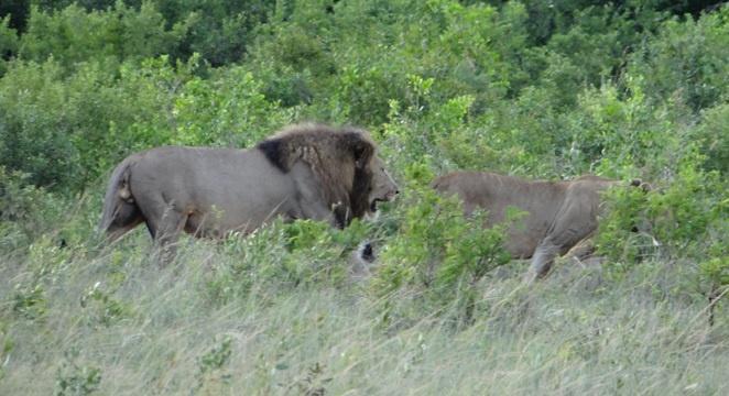 South Africa safari; Lion