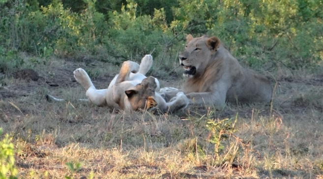 South Africa safari; Lions