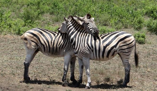 South Africa safari; Zebra