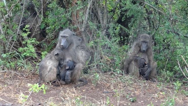 South African Safari; Baboons in the rain