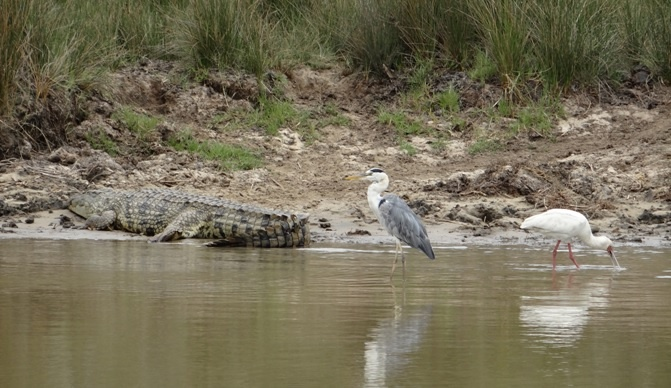 South African safari; Crocodile