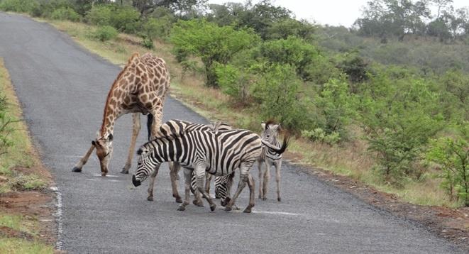 South African safari; Giraffe and Zebra