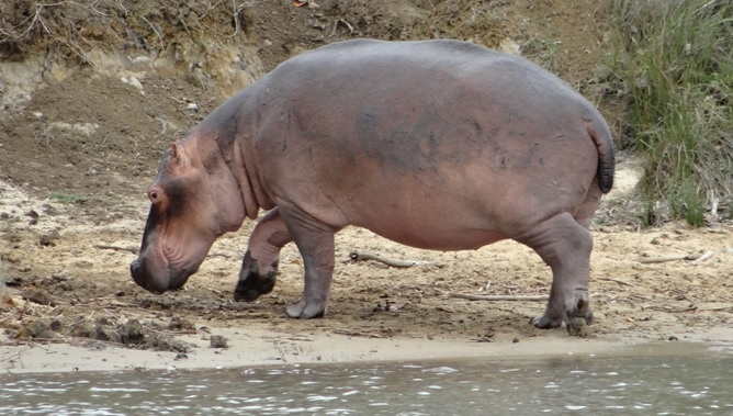 Hippo out the water
