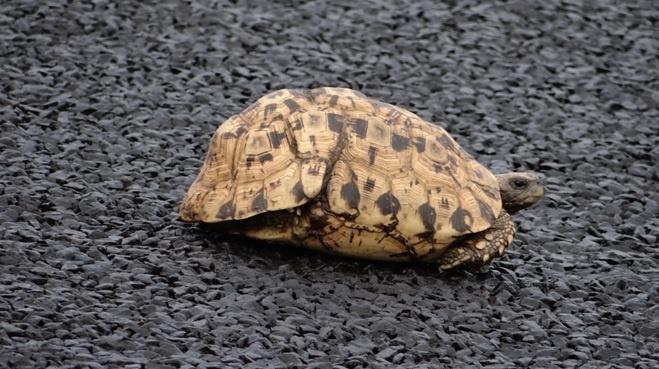 South African safari; Leopard Tortoise