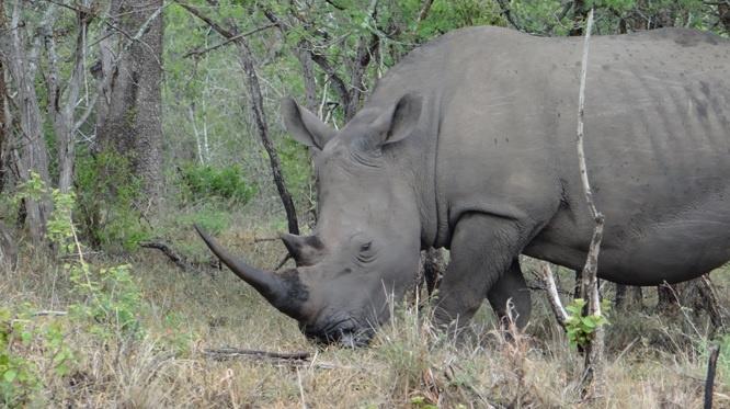 South African safari; Rhino