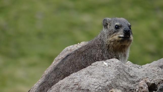 Drakensberg tour; Rock Hyrax sits on a rock