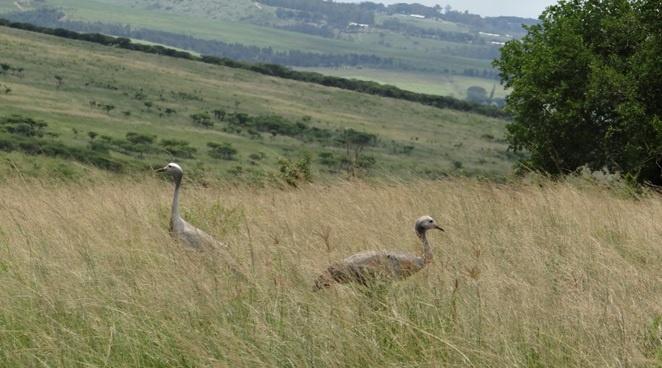 Durban tour; Tala game reserve, Blue Cranes