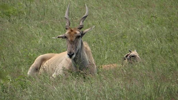 Durban tour; Tala game reserve, Eland