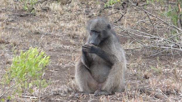Durban big 5 day safari; Baboon lights a cigarette