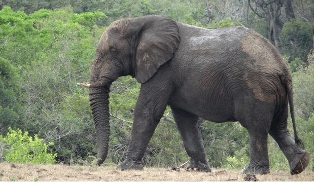 Durban big 5 day safari; Elephant