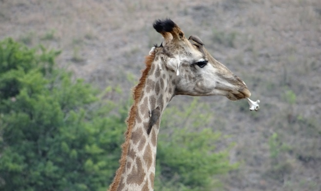 Durban big 5 day safari; Giraffe chewing a bone