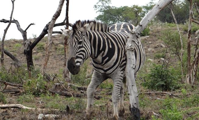 Durban big 5 day safari; Zebra has a scratch