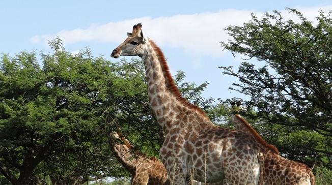 Tala half day tour; Giraffe