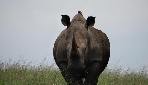 Tala half day tour; Rhino