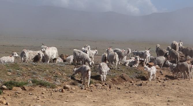 Drakensberg mountains tour, Angora goats