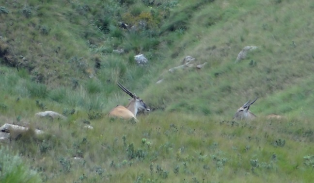 Drakensberg mountains tour, Eland antelope