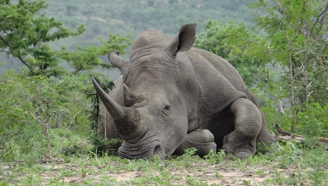 Durban safari tour; Resting Rhino