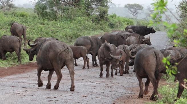 Durban safari tour, Buffalo on road