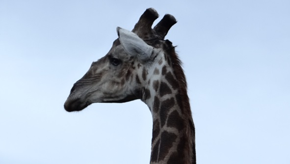 Durban safari tour, Giraffe