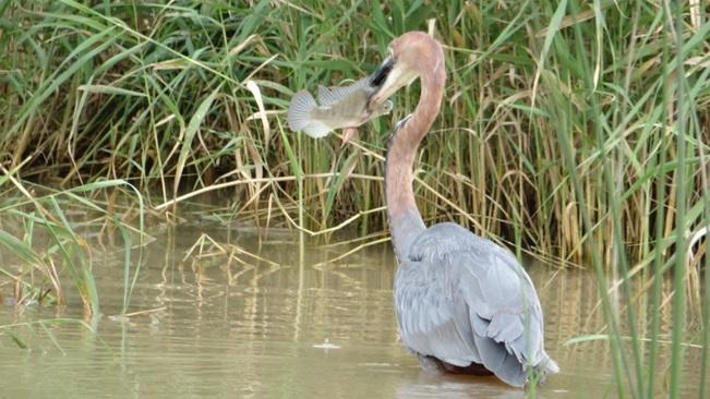 Durban safari tour, Goliath heron with its fish