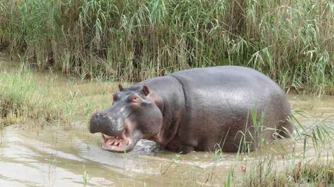 Durban safari tour, Hippo