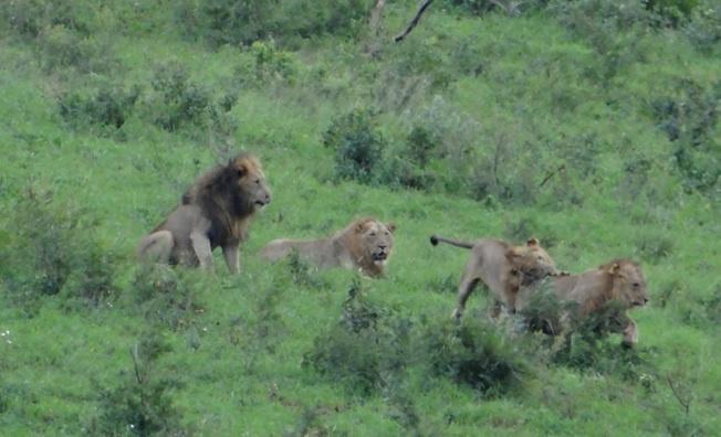 Durban safari tour, Lions playing
