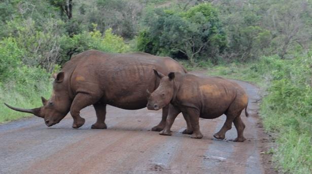 Durban safari tour, Rhino and calf