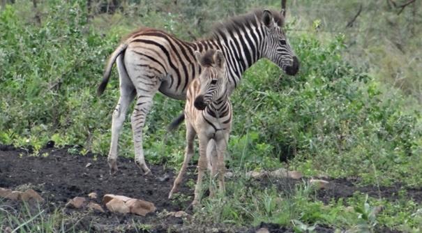 Durban safari tour, Zebra